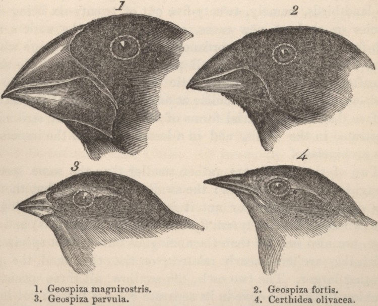 Courtesy of Wikimedia Commons Darwin's Finches