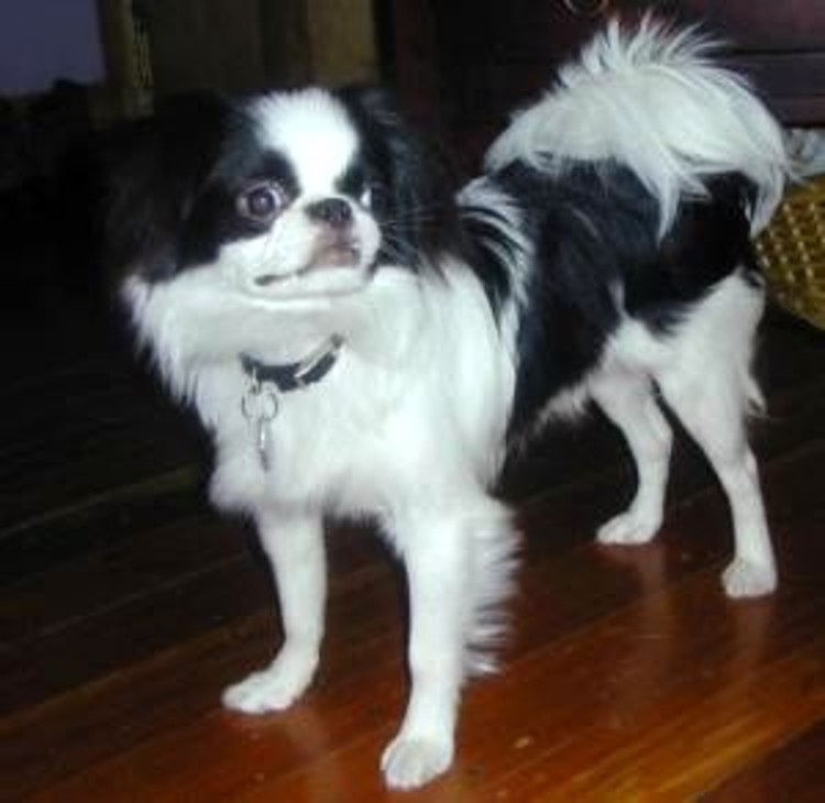 Japanese Chin Courtesy of <a href='https://creativecommons.org/licenses/by-sa/3.0/'>Wikimedia</a> Commons / Trysha