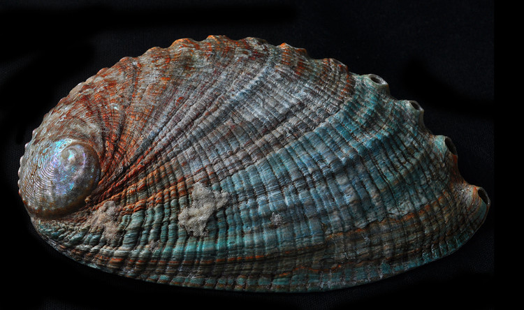 Abalone Shell. Image © Flickr user Bill Gracey, licensed under CC BY-NC-ND 2.0