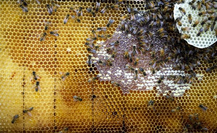 Marco de la colmena con construcción visible de miel y cera en el entorno del Colmenar Sintético. Imagen © The Mediated Matter Group