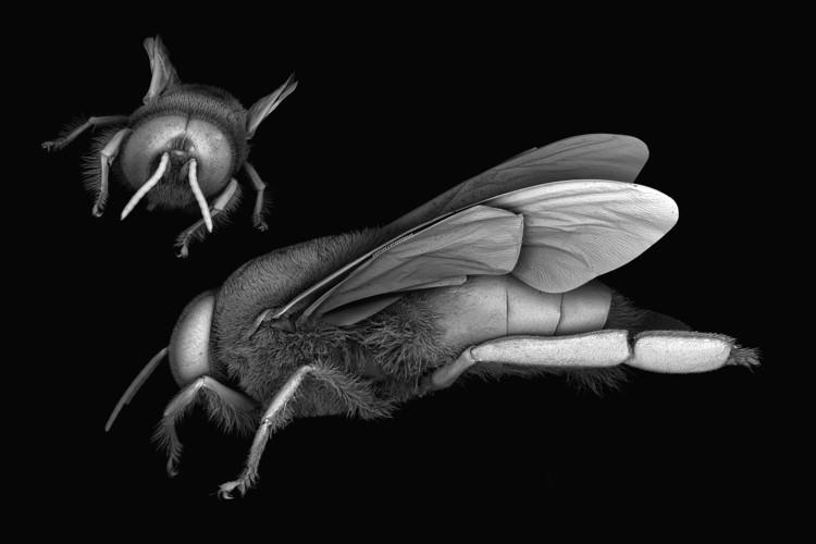 Imágenes de microscopía electrónica de barrido de la abeja de la miel, Apis mellifera. Imagen © Dr. James Weaver (Wyss Institute, Harvard University)