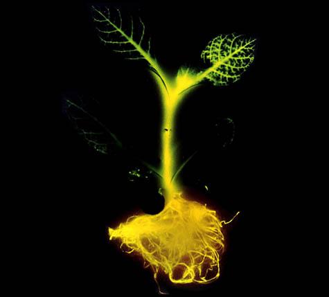 ¿Pueden los árboles luminosos llegar a sustituir el alumbrado eléctrico?, Cortesía de Wikivisual