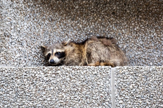 The rough, exposed aggregate concrete facade allowed the raccoon to scale the building like a tree. Image © Evan Frost/<a href='https://www.mprnews.org/'>MPR News</a>