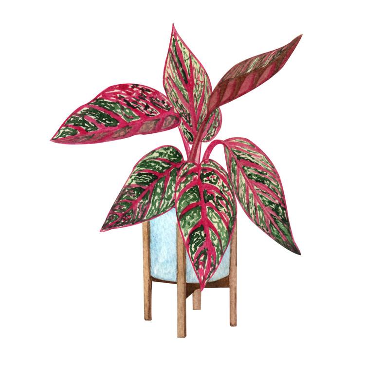 10 plantas resistentes que sobreviven en espacios con poca luz, Aglaonema. Image © Liubabasha, Vía Shutterstock