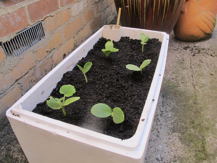 Self-watering container. Image © Flickr user Gavin Anderson