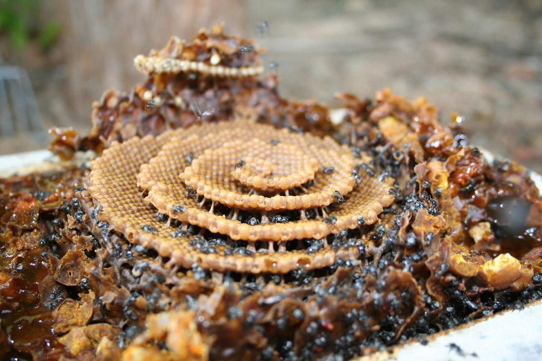 La increíble arquitectura de las abejas,Tetragonula Carbonaria. Image © Dr. Tim Heard, Sugarbag Bees (www.sugarbag.net)