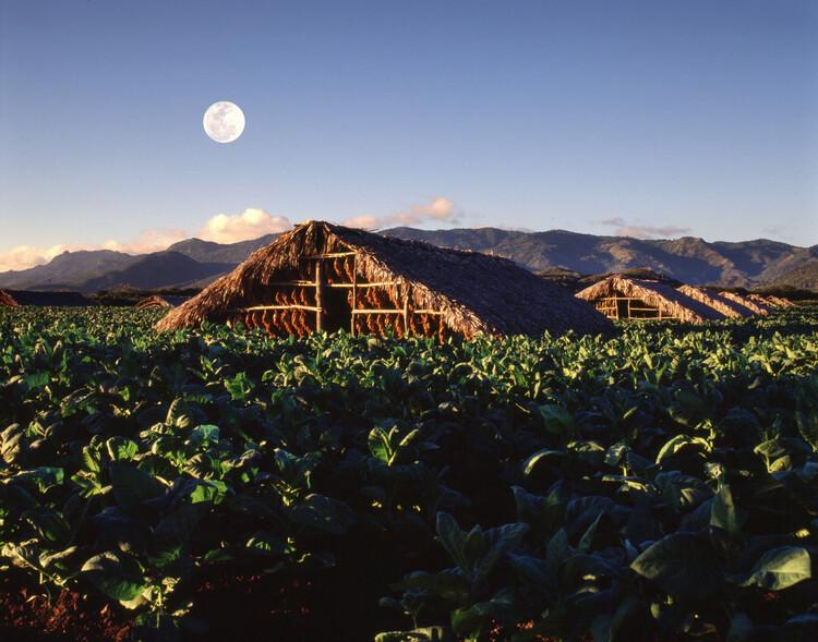 Tobacco plantation in Dominican Republic. Image © Domingo Batista